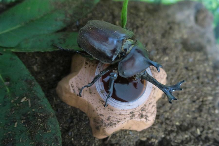 土から出てくる カブトムシ 成虫